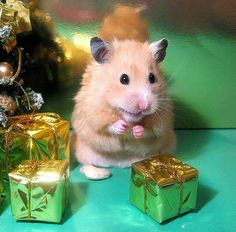 """""""Ooooh, I wonder if the running wheel I asked Santa for is in that gold gift box? THE SUSPENSE IS KILLING ME !"""