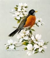 Rtp American Robin with Dogwood