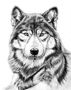 Gray Wolf by Dave the Drawing Guy