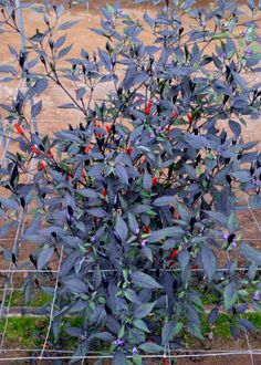 Capsicum annuum 'Zimbabwe Black'. A hot chili plant with purple foliage and dark purple fruit that ripens to red.