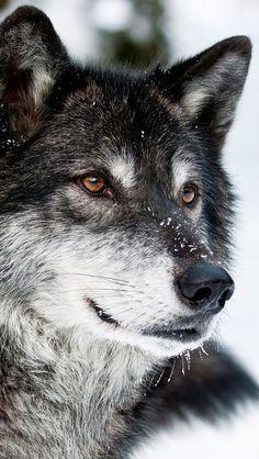 640x1136 Обои волк, хищник, морда, взгляд