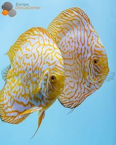 Aktuelle Diskus-Bilder | Europa Discus Center - Golden Checkerboard Diskus Zuchtpaar #Discus #Diskusfische #Tropicalfish #Aquarium #Europadiscuscenter #Freshwateraquariums