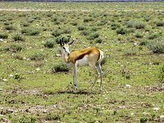 Springbuck in Field Free Stock Photos, Mammals