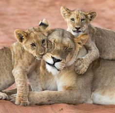 Young lion cubs playing with their patient mom.