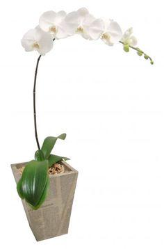 Phalaenopsis amabilis: Bastante comum, esta é uma das orquídeas mais vendidas. Bastante resistente, suas flores duram de 30 a 40 dias. Atinge cerca de 15 cm de altura. A mais conhecida é a de cor branca, mas também é possível encontrá-la em rosa, rajada em amarelo com marrom e toda branca com o centro em vermelho ou pink.  Pode dar até 15 flores em cada floração. Geralmente, floresce uma vez ao ano, mas há um truque para ganhar tempo: quando a haste ficar sem flores, basta medir cerca de 20…