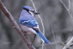 Bluer Than Blue - Bluejay by Cherylorraine Smith.
