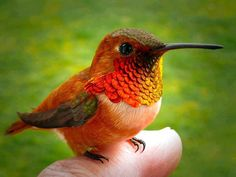 Bee Hummingbird (Zunzuncito) is a tiny bird that is only found in Cuba