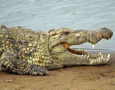 Crocodilo-do-Nilo (Crocodylus niloticus)
