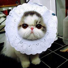 Daddy!!... I'm a CAT!! I'm not CUP CAKE!! ... @tu_piyawadee - @mawin_hope- #webstagram