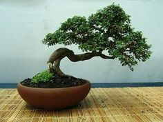 Selecting the Right Bonsai Pot for your Tree