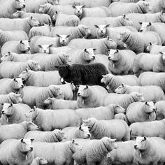 Who's The Black Sheep. Where's The Black Sheep Black N White, Black And White Pictures, Farm Animals, Cute Animals, Sheep And Lamb, Tier Fotos, Black Sheep, Photo Black, Belle Photo