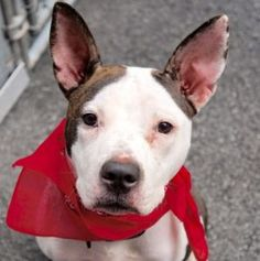 ♡ SAFE ♡ My name is AMARIS. My Animal ID # is A1076948. I am a female white and br brindle pit bull mix. The shelter thinks I am about 1 YEAR I came in the shelter as a STRAY on 06/10/2016 from NY 10457, owner surrender reason stated was STRAY.