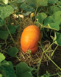 Slip clean straw beneath each pumpkin and winter squash to keep them from rotting and to put them out of reach of soil-dwelling insects.