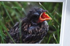 Irresistable Baby Bird Fine Art Photo Perfect by NaturesBeautybyLJ, $10.00