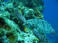 Buena Ventura Diving: Lots of Turtles to see In Cozumel