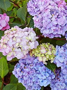 Hydrangeas are a gorgeous and popular flower. If you're considering adding one of these pretty plants to your yard or garden, find out how to care for and choose the correct hydrangea. There are many different varieties, but there are two major categories Types Of Hydrangeas, Hydrangea Colors, Hydrangea Care, Hydrangea Flower, Hydrangea Varieties, Blue Flowers, Strawberry Hydrangea, Garden Shrubs, Veggie Gardens