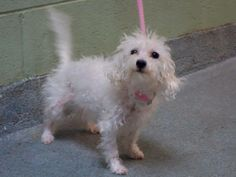 URGENT - Manhattan Center    PRINCESS - A0991379   *** SAFER: AVERAGE HOME ***   FEMALE, WHITE, MALTESE / POODLE TOY, 6 yrs  OWNER SUR - EVALUATE, NO HOLD Reason MOVE2PRIVA   Intake condition NONE Intake Date 02/09/2014, From NY 10466, DueOut Date 02/09/2014 Main thread: https://www.facebook.com/photo.php?fbid=763172550362293&set=a.617938651552351.1073741868.152876678058553&type=3&permPage=1