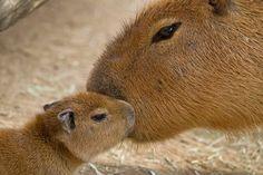 Capybara mom and pup