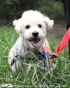 MINE Looking for a snuggle buddy? Bernie's your guy! This happy-go-lucky mini Poodle is super sweet and affectionate. He loves belly rubs, cuddling and playing with other dogs. Take him home today!