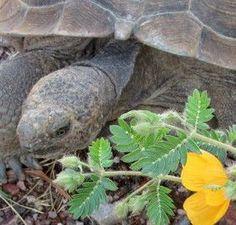 Desert Tortoise Mix