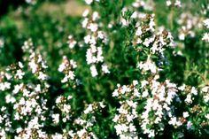 Timian alm. - alle timian skal klippes ned til det grønne forår eller efter blomstringen for at busken holder sig pæn