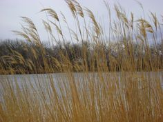 grasses near the duck pond