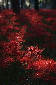 I love those flowers *--* Red Flowers, Beautiful Flowers, Beautiful Pictures, Red Aesthetic, Aesthetic Pictures, Aesthetic Anime, Red Spider Lily, Shades Of Red, Tokyo Ghoul