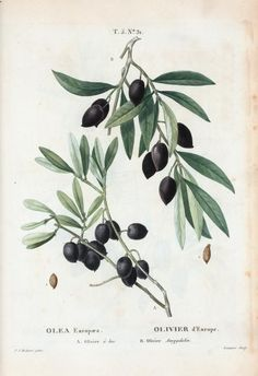 Olive Tree Tattoo Small Botanical Illustration Ideas For 2020 Vintage Botanical Prints, Botanical Drawings, Botanical Art, Vintage Botanical Illustration, Illustration Botanique, Plant Illustration, Olive Tree Tattoos, Sibylla Merian, Impressions Botaniques