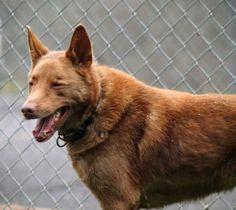 Bear  • Shepherd Mix • Adult • Male • Medium • Marion County Humane Society • Fairmont, WV