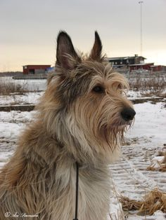 Dennis, the Berger Picard Dog Lover Gifts, Dog Lovers, Terrier Mix, Terriers, Wolf, Rough Collie, Herding Dogs, Animal 2, Sheltie