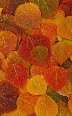 Aspen Leaves Aspen Leaf, Autumn Leaves, Plant Leaves, Fall, Plants, Color, Autumn, Fall Leaves, Fall Season