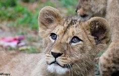 cute-baby-lion