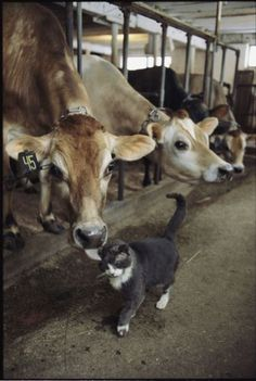A cat accepts a lick from a cow at a dairy farm in Massachusetts.