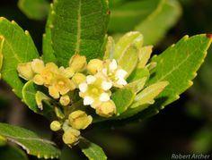 Gerrardina Foliose Krantz Berry Krantzbessie m S A no 500 Mountainlands NR Berries, South Africa, Green, Plants, Bury, Plant, Planets, Blackberry, Strawberries