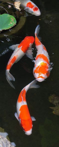 """Koi fish are the domesticated variety of common carp. Actually, the word """"koi"""" comes from the Japanese word that means """"carp"""". Outdoor koi ponds are relaxing. Coi Fish, Koi Carp Fish, Fish Ponds, Betta Fish, Koi Fish Drawing, Fish Drawings, Pond Drawing, Koi Art, Fish Art"""