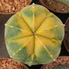 astrophytum hybrids cv. KOHYO