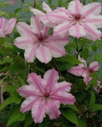 Clematis Charissima as planted at Greys Court. Good for growing over an arch. Also good with Clematis 'The President' Grapevine Growing, Seed Packaging, Magnolia Trees, Growing Grapes, Passion Flower, Antique Stores, Clematis, Grape Vines