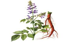 Salvia Extract Powder  -  Salvia root plays a critical role in the circulation…