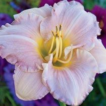 Pewter Pink fragrant Reblooming Daylily