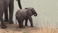 Baby Elephant Video, Elephant Gif, Elephant Facts, Cute Baby Elephant, Baby Elephants, Cute Funny Animals, Cute Baby Animals, Funny Cats, Parallel Lives