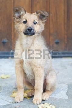 Basque Shepherd #Puppy #Dogs