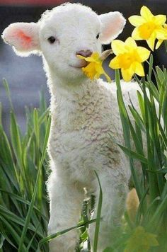 Cute lil lamb sniffing spring