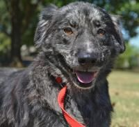***SUPER SUPER URGENT!!!*** - PLEASE SAVE BRODY!! - EU DATE - 11/4/2014 -- Brody Breed:Australian Shepherd Age: Adult Gender: Male Size: Medium Special needs: altered, Special needs: hasShots, Special needs: housebroken, Shelter Information: Jacksonville Animal Shelter 217 S. Redmond Rd.  Jacksonville, AR Shelter dog ID: 661 Contacts: Phone: 501-982-2916 Name: H.Wuelling email: animalshelter@cityofjacksonville.net