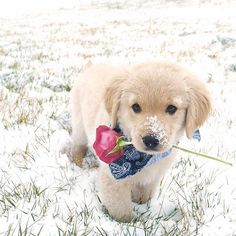 """14.2k Likes, 338 Comments - Puppies of Instagram (@puppiesofinstagram) on Instagram: """"YES I WILL BE YOURS #valentinesday . @pazzopup"""""""