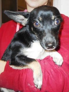 12 / 17      Petango.com – Meet Mina, a 6 months 13 days Welsh Corgi, Pembroke / Chihuahua, Short Coat available for adoption in HOLLISTER, MO Contact Information Address  255 Critter Trail , Unit, HOLLISTER, MO, 65672  Phone  (417) 332-0172  Website  http://www.taneycohealth.org  Email  simpss2@lpha.mopublic.org