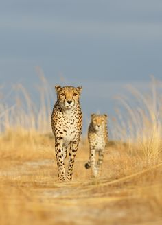 A pair of cheetahs like some kind of mystical vision.