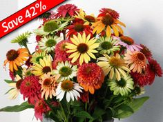 Coneflower Grab Bag - 12 of our Top Rated Coneflowers in a bevy of color!  zone 5
