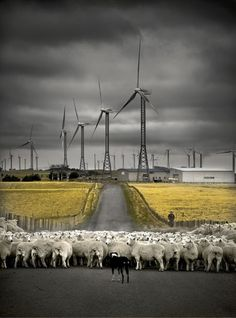 sheep and wind turbines with mustard field