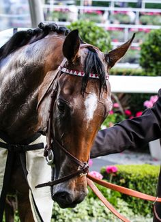 Qemah crowned Queen in Coronation : International Horse Breeding and Racing news updated daily, www.thoroughbrednews.com.au