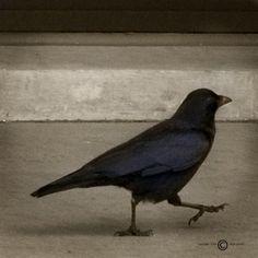 Crows...love em, Karen loves a good crow pic